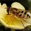 Çevre Kirliliği Ve   Arılar